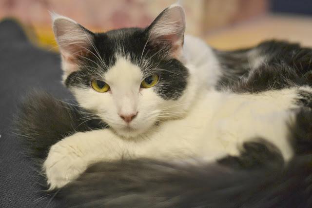 Homemade Tuna and Cheddar Cat Treats , Homemade Cat treats, easy cat treat recipe, cat treat recipe, DIY cat treats, DIY treats for cats,
