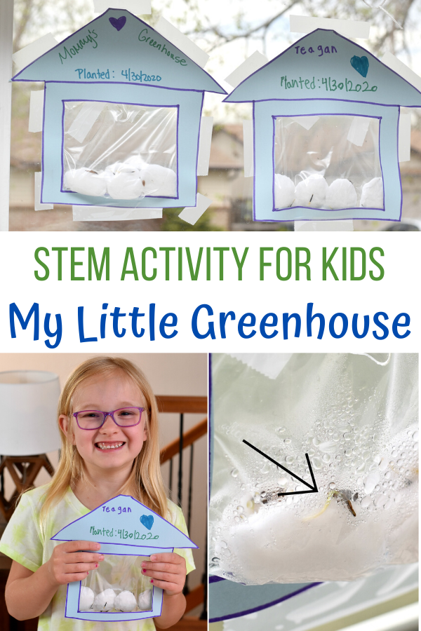 My Little Greenhouse STEM Activity for Kids, greenhouse activity for kids, create an indoor greenhouse for kids, Greenhouses. Ziplock bag, wet cotton balls and seeds. You can see all the plant parts. learning about seeds.